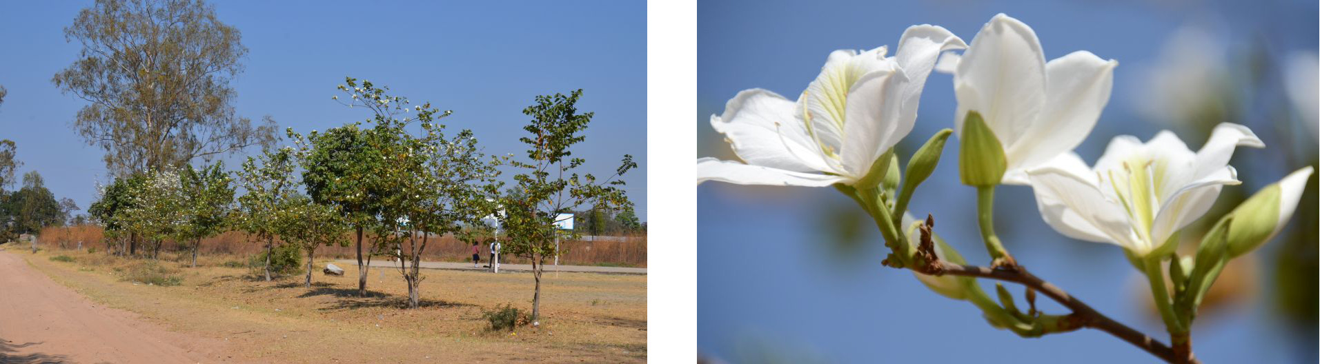 August 2015: The trees which we planted in 2006 are blossoming in August