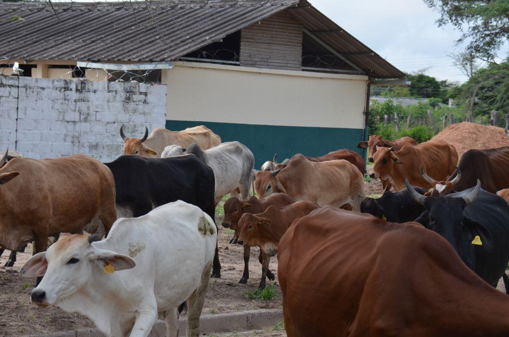 Cattle herd of the school