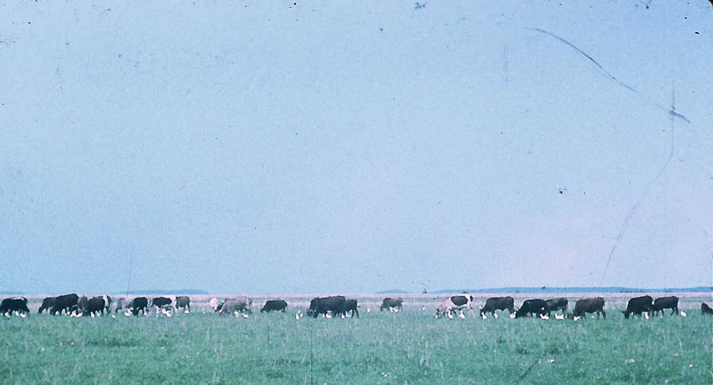 Kuhherde in der Kafue-Ebene