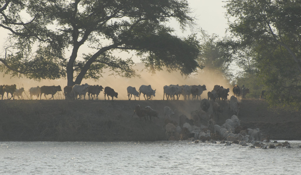 Kafue cattle crossing